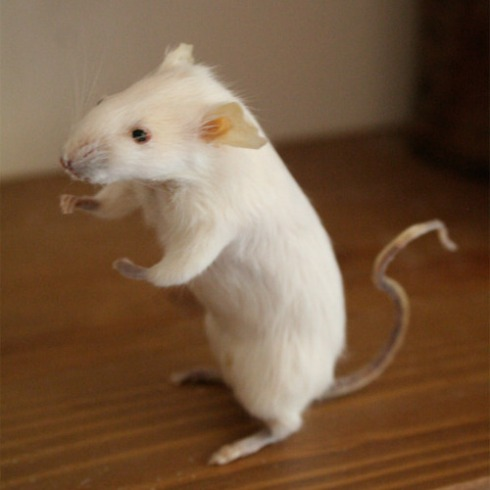 Taxidermy-Week-Mouse-Commission-2